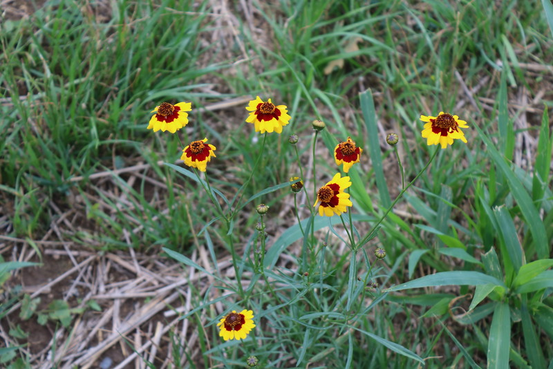 Marigolds in the Wild