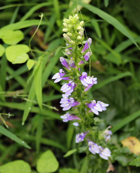 Purple and White Wildflower