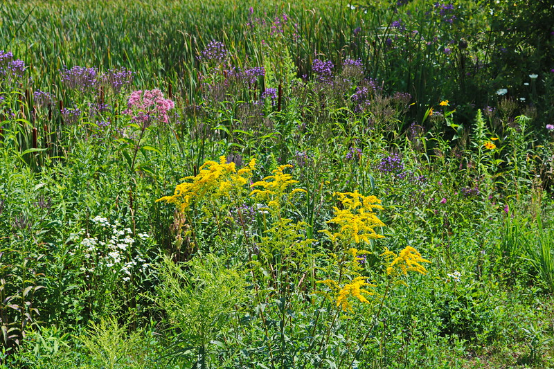 Wetland Wildflowers
