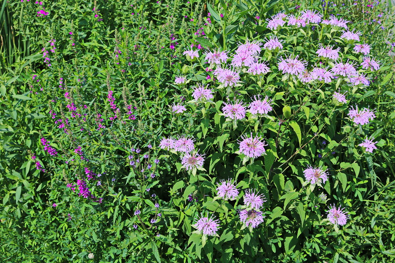 Wild Bergamot and Purple Loosestrife