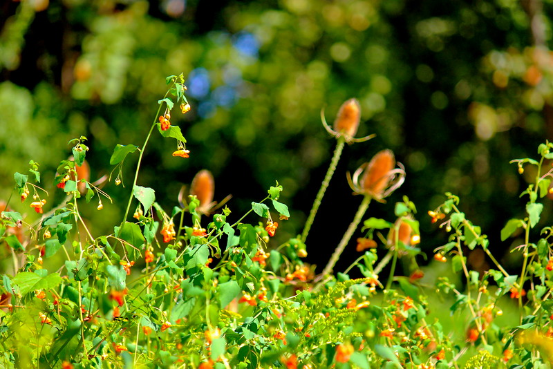 Jewel Weed and Thistle