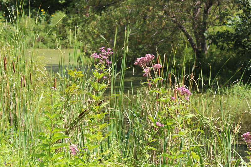 Joe Pye Weed along the Creek