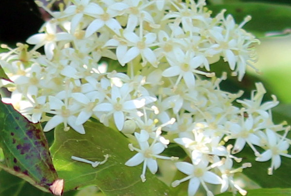 Night Blooming Jasmine Blossoms