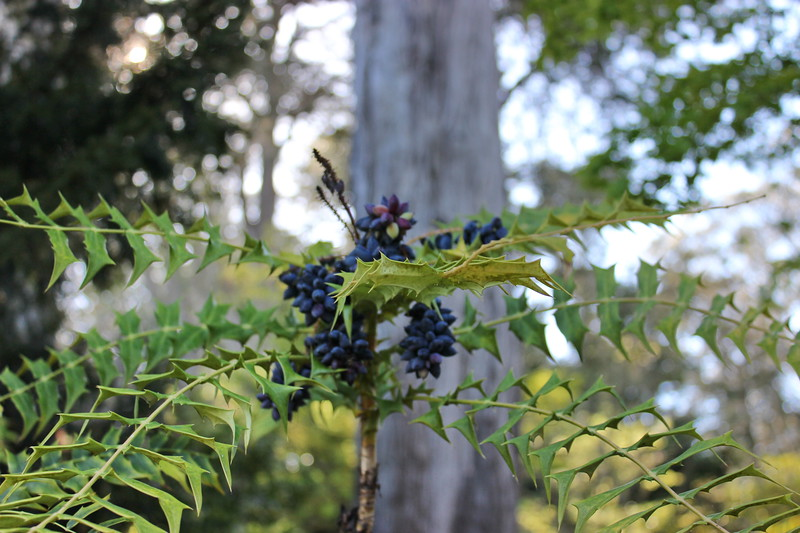 Mahonia lomariia with Black Berry Clusters