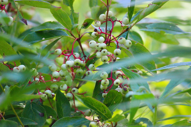 Red Ossier Dogwood Berries
