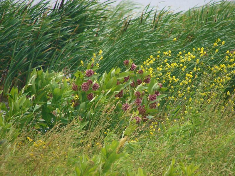 Wildflowers and Wetland Plants