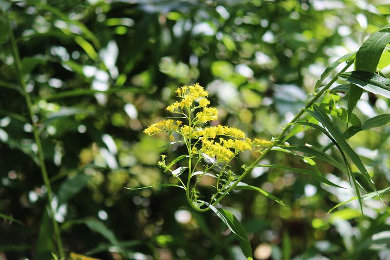 Goldenrod Blossom