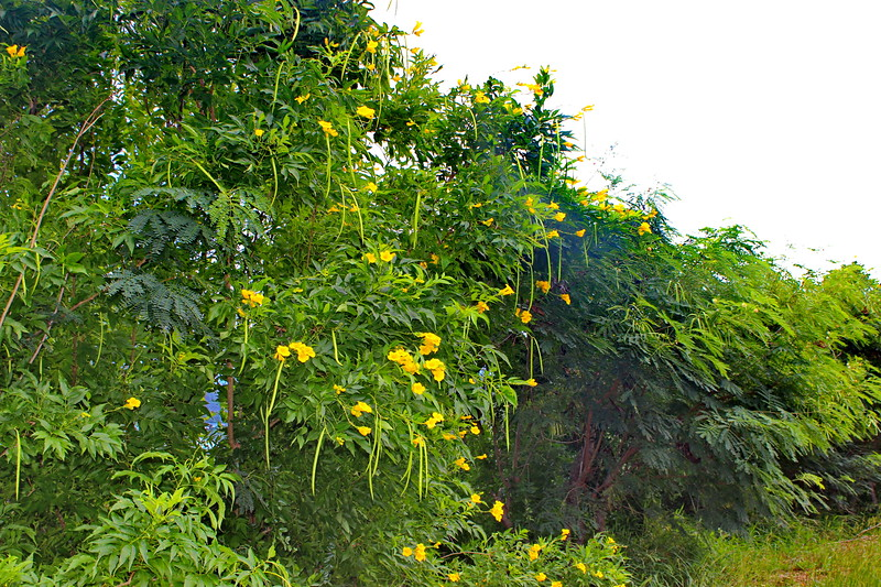 Ginger Thomad Shrub with Yellow Flowers