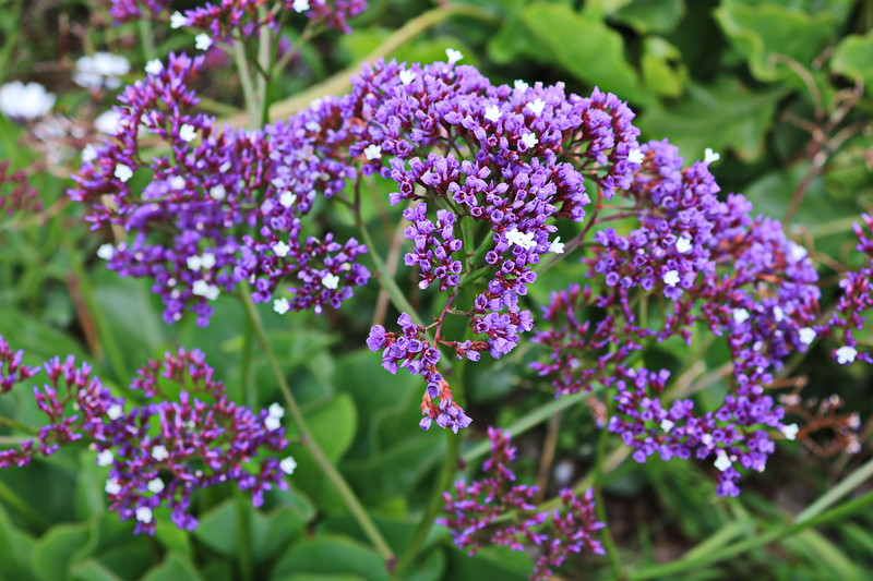 Purple Sea Lavender