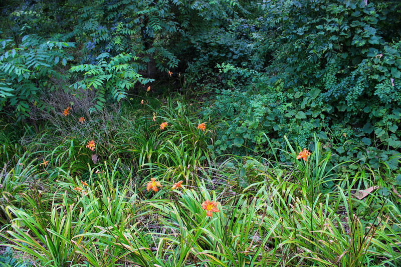 Wild Daylilies by the Road