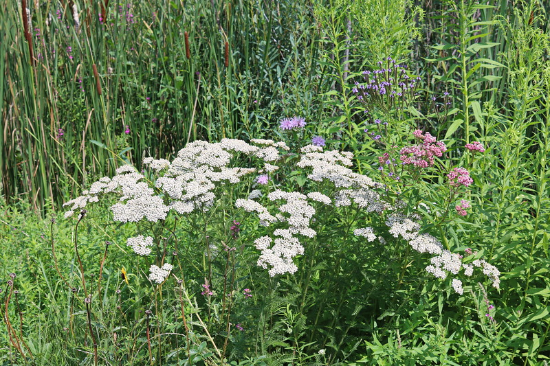 Queen Anne's Lace in Wetland