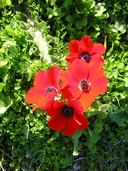 Wild Red Anemones