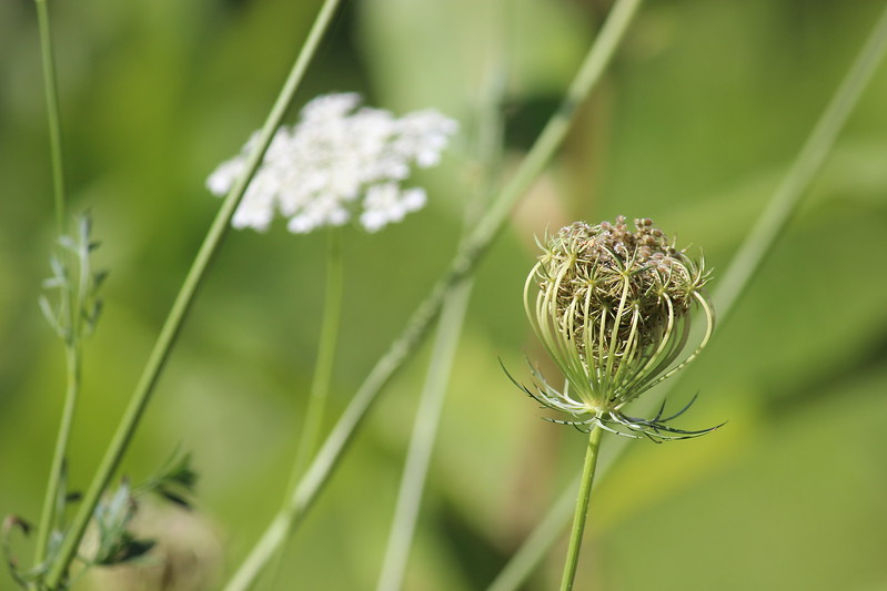Faded Queen Anne's Lace Blossom