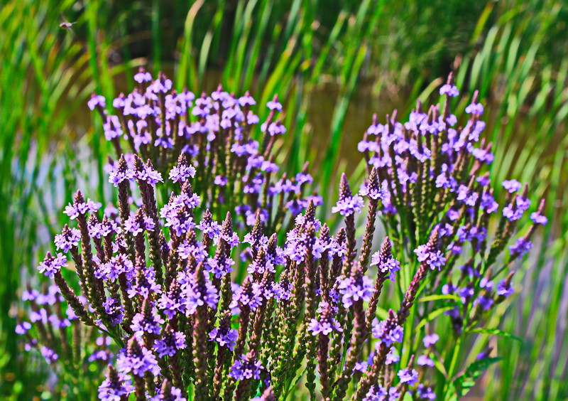 Blue Vervain Flowers