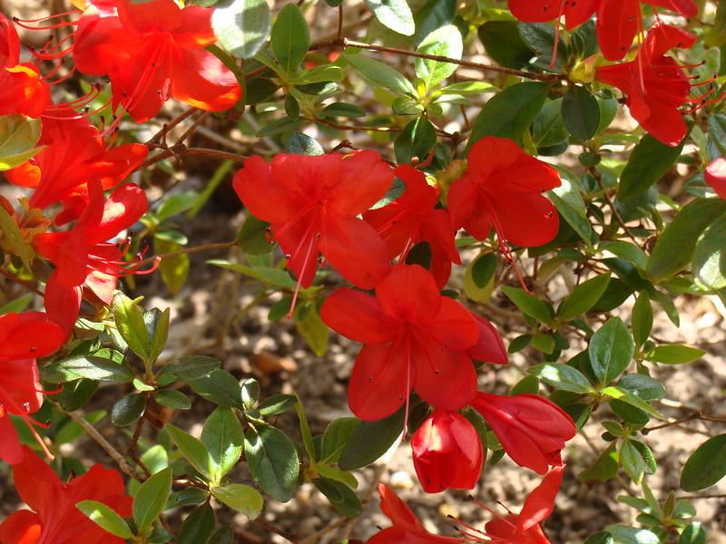 Red Azalea Bush
