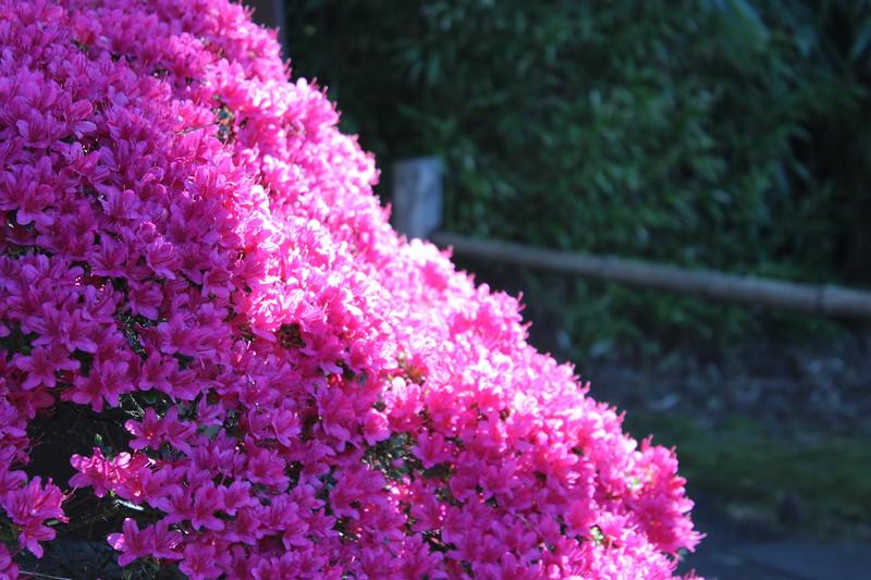 Hot Pink Azaleas