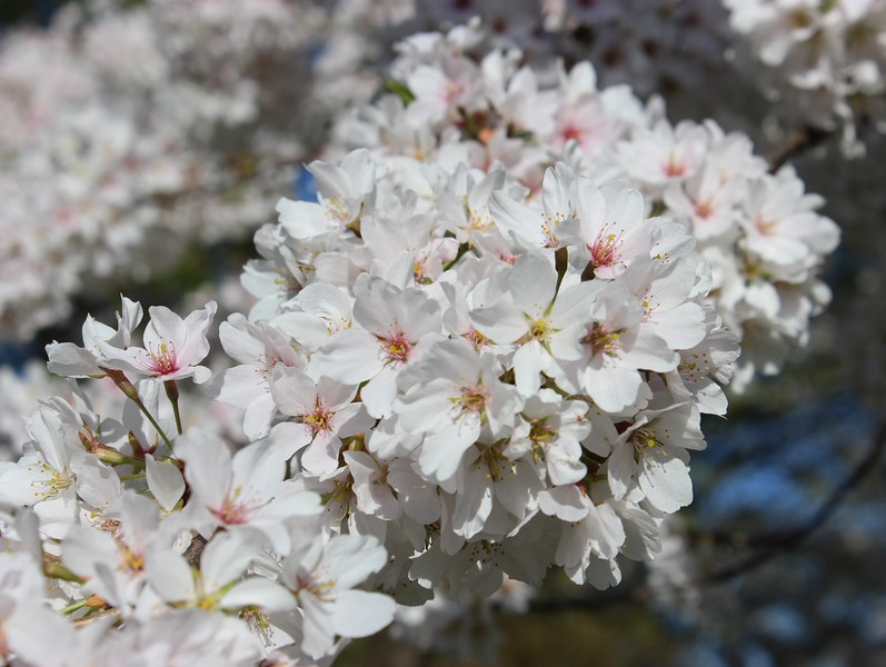 Spring Pear Blossoms