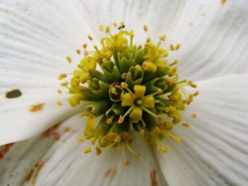 White Dogwood Flower Close-up