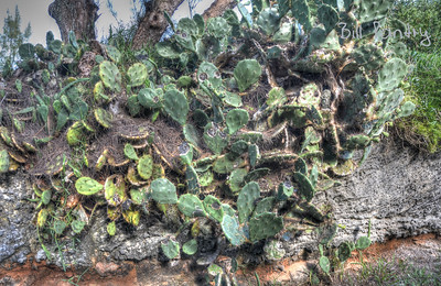 Prickly Pear, Devonshire Bay Park, Devonshire, Bermuda