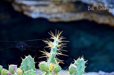 Prickly Pear & spider web