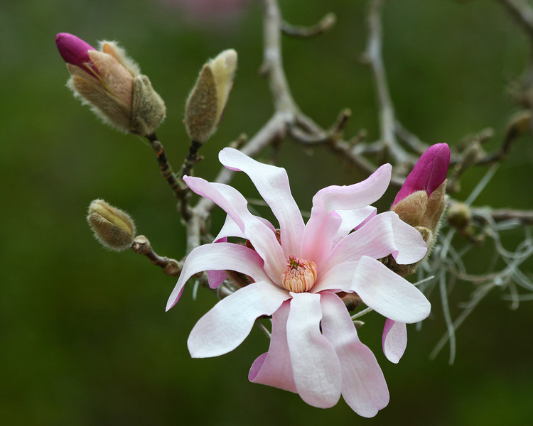 Star Magnolia with Buds