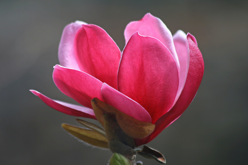 Pink Magnolia on Grey