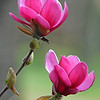 Two Magnolias with diffused background
