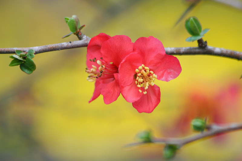 Quince Blossoms on Yellow