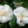 White Camellias with Fly
