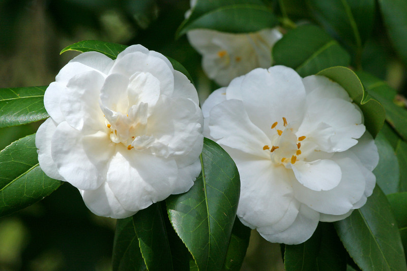 Two White Camellias