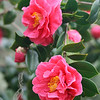 Camellias and Buds