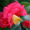 Camellia and bud