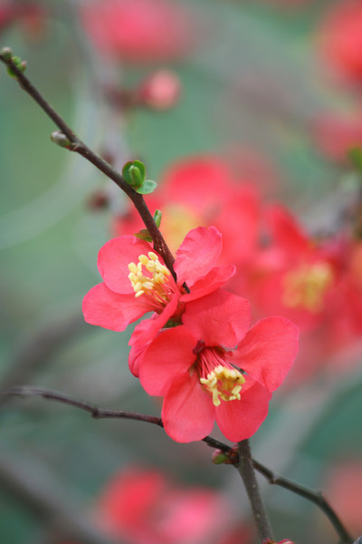 Quince Blossoms with Green Background