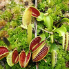 Venus Fly Trap 041