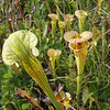 Pitcher Plants 087
