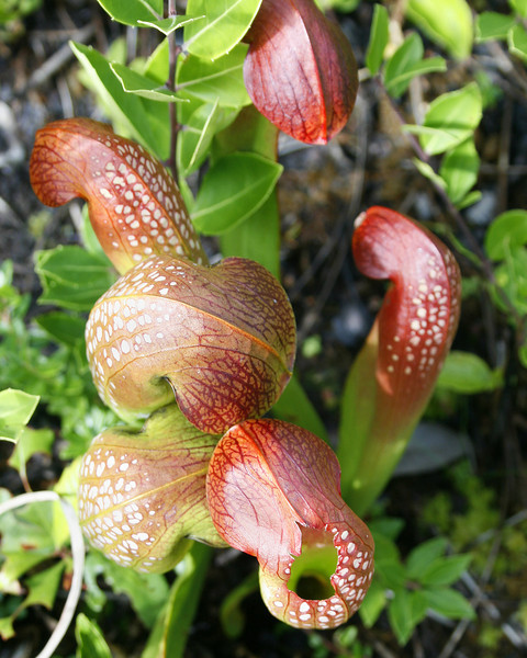 Pitcher Plants 144