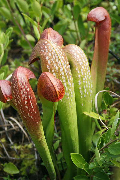 Pitcher Plants 146
