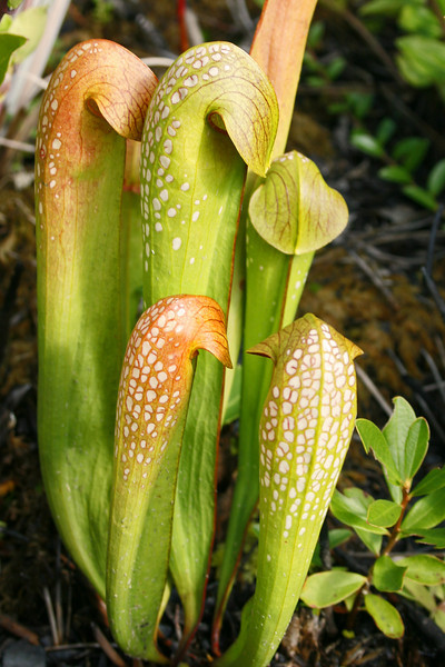 Pitcher Plants 149