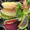 Venus Fly Trap 134