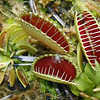 Venus Fly Trap 128