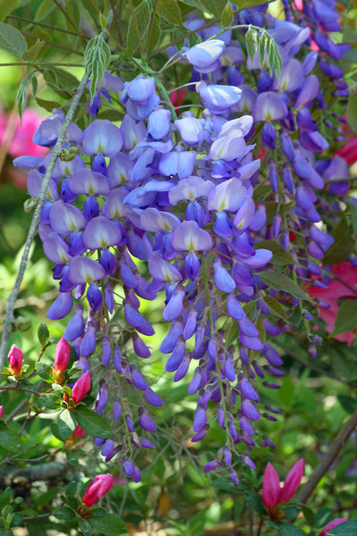 Wisteria clusters with azalea buds in background.