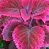 Pink and Burgundy Coleus