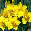 Flock of Daffodils