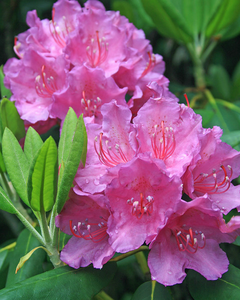Rhododendron Clusters