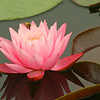 Pink Waterlily with Bee