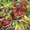 Venus Fly Traps with Cricket