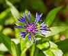 Pretty Purple Flower at Lochwinnoch Nature Reserve - 9 June 2015