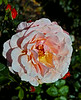 Pink Rose in Greenock - 14 August 2014