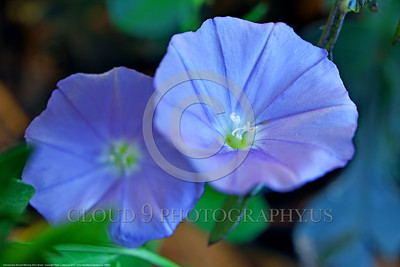FLOWER-Convolvulus Ground Morning Glory 00001 A beautiful pair of violet Ground Morning Glory flowers by Peter J  Mancus