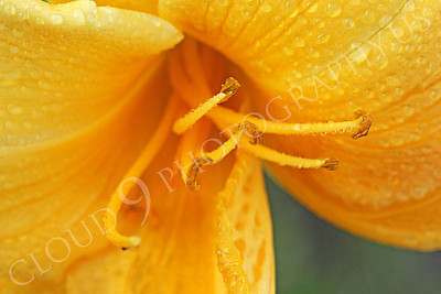 FLOW 00510 A close up look at a daylily flower's reproductive organs, by Peter J Mancus